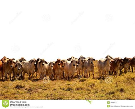 beef cattle herd of brahman cows royalty free stock