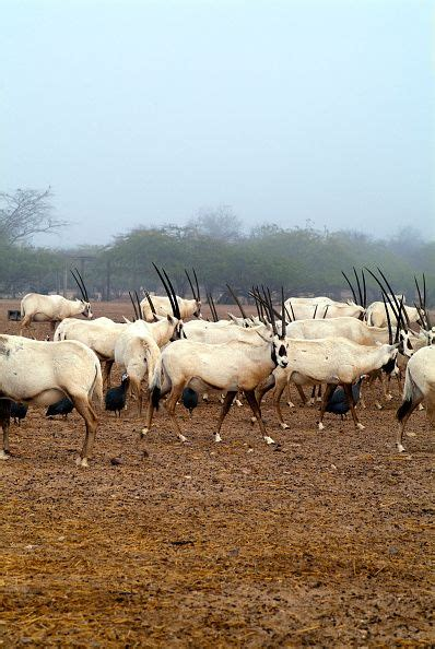 25+ Best Ideas About Arabian Oryx On Pinterest  Animals In The Wild, Endangered Species And