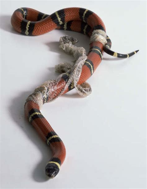 Shedding Snake by To New Beginnings 171 Shaunmatsheza