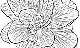 Coloring Pages Spinach sketch template