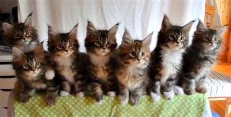give  maine coon kittens  eye test