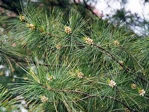 Unterschied Pinie Kiefer : weymouths kiefer strobe eastern white pine pinus strobus baumschule horstmann ~ Orissabook.com Haus und Dekorationen