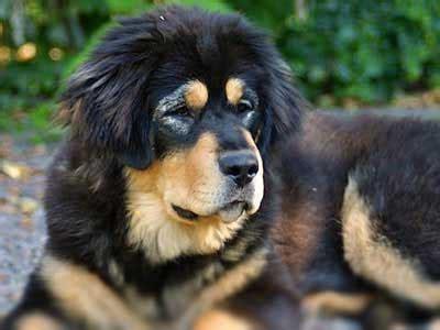 tibetan mastiff information characteristics facts names