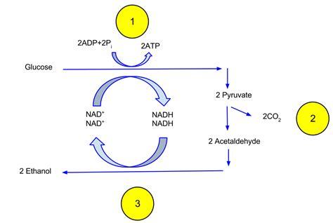 Ethanol Fermentation Wikipedia