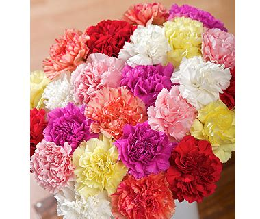 carnation color meanings carnations flowers different carnation colors and their