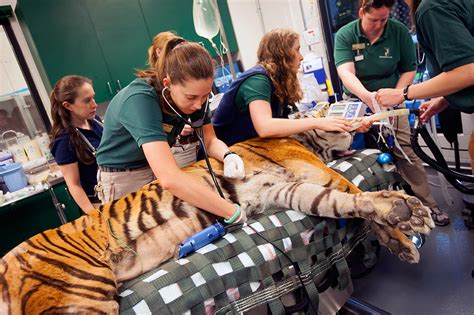 medical davis uc tiger veterinary vet ucdavis treatments groundbreaking surgeon zoo