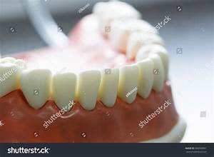 Lower Jaw Dental Model Dental Hygiene Stock Photo ...
