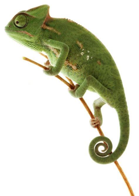 types of chameleons the gallery for gt types of chameleons