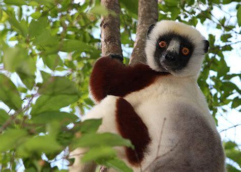 Lemur Coquerel's Sifaka Info Photo 1