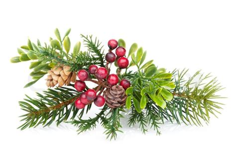 christmas tree branch with holly decor stock photo