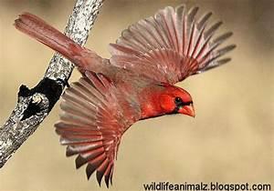 Cardinal The Beautiful Red Birds Of America | The Wildlife