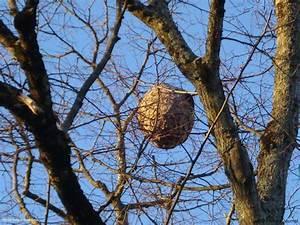 Comment Repérer Un Nid De Frelon : comment d truire un nid de frelon ~ Melissatoandfro.com Idées de Décoration
