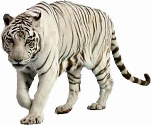 PSD Detail | White Tiger 1 | Official PSDs