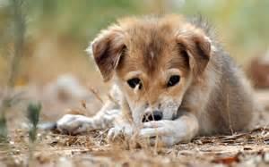 子犬:Field puppyかわいい子犬切ない目