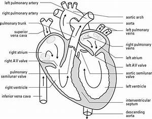 Blank Heart Diagram With Answers Bhd08