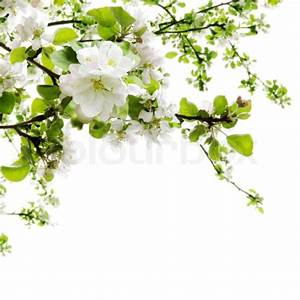 Spring Apple Tree Blooming Branches
