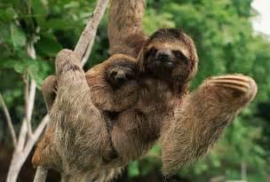 Amazon Rainforest Animals Sloth