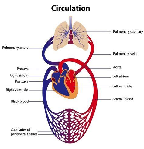 Simple Diagram Of Organ by Simple Diagram Of The Circulatory System Simple Human
