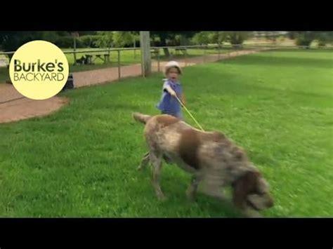 Burkes Backyard Dogs by Burke S Backyard Italian Spinone Road Test