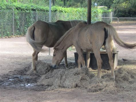 zoo park ponies horses animals crocodylus darwin timor weekendnotes