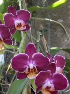 How To Graft A Phalaenopsis Orchid To A Tree