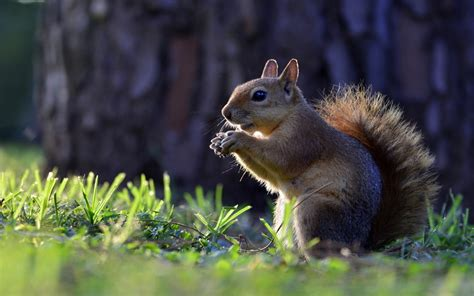 Animal Wallpaper For Mobile - animals squirrel hd wallpapers for mobile phones and