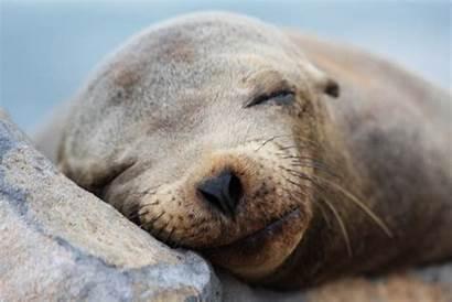 Lion Sea Lions Seals Sealion Wallpapers California