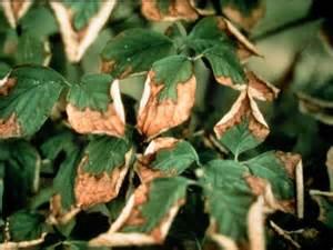 Brown Leaves On Dogwood Tree
