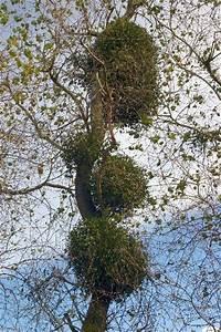 Parasitic Plants Mistletoe
