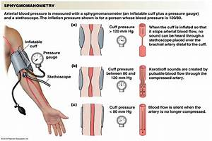 Chapter 15 Blood Flow And The Control Of Blood Pressure At