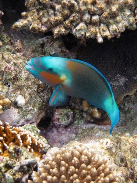 brightly colored fish parrot fish family wrasse brightly colored fish habitat