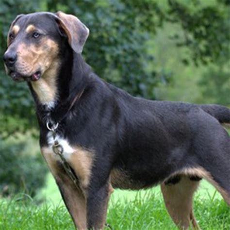 huntaway breed guide learn   huntaway