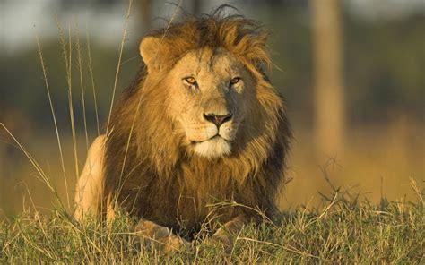 The Lion Panthera Leo Pgcps Mess Reform Sasscer