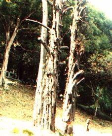 Nutmeg Tree Cultivation
