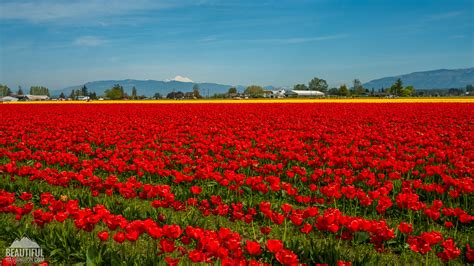 Tulip Fields at Skagit Valley - largest floral festival in WA