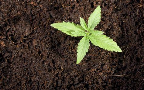 How To Grow Marijuana Outside