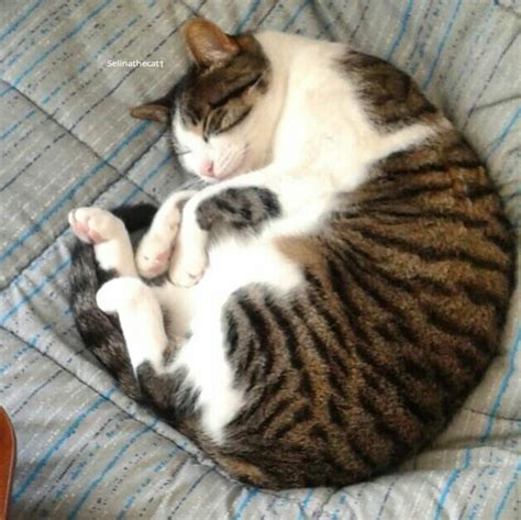 "Selina The Cat On Twitter ""curled Up And Ready To Sleep"