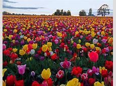 Tulip Field Mix Wooden Shoe Tulip Farm
