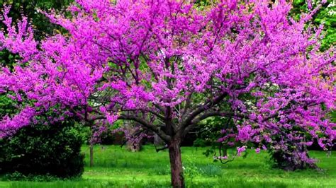 redbud facts 1 eastern redbud tree cercis canadensis ebay