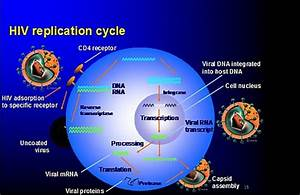 Hiv Virus Replication Cycle  7 Stages Of Hiv Life Cycle