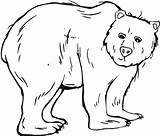 Bear Coloring Trembling Netart Pages American sketch template