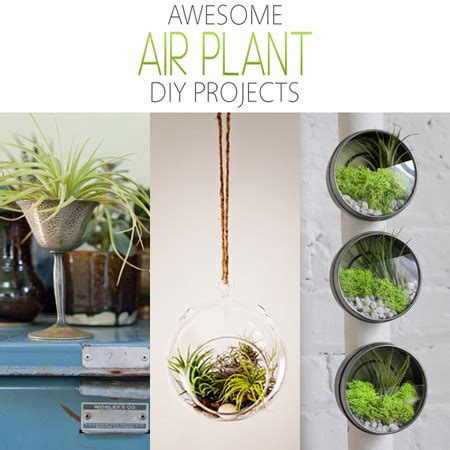 awesome air plant diy projects  cottage market