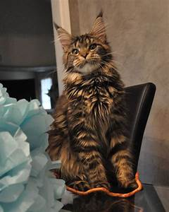 Alysia of EuroCoons Black Classic Tabby Female Maine Coot ...