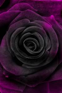 Velvet Purple Rose | Gorgeous Gardens, Flowers & Shrubs ...