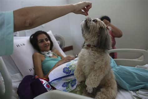 canine therapy brazilian therapy dogs support hospital
