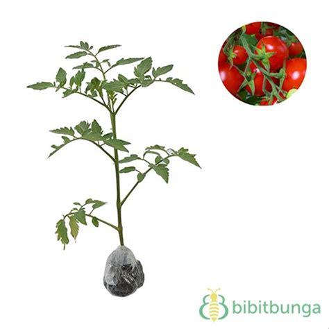 15 trend terbaru cara menggambar pohon tomat