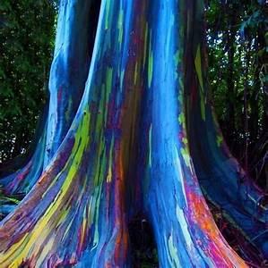 Eucalipto Arco íris Tronco Multi Cores Mudas Jardim Exótico O maior portal de mudas do
