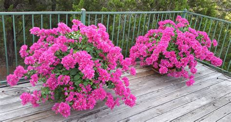 how my bougainvillea can help you understand the difference between needs and strategies