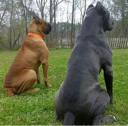 Corso Cane Mastiff Italian Dogs Dog Puppies