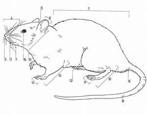 Rat External Anatomy